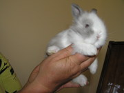 Кролики декоративные,  породы: Английский Мини