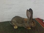 Продам молодняк кроликов пород Бельгийский (Обр, Фландр), белый великан