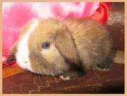 Продажа вислоухих крольчат!!!!