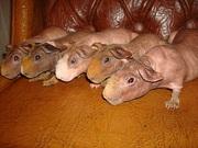 продам мини бегемотиков-скинни(морская свинка