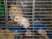 сирийские хомячки