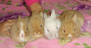 Продаются декоративные кролики в Одессе