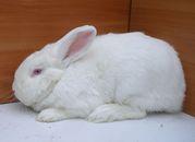 Кролики Новозеландцы-Белые