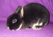 Декоративные карликовые кролики различных пород