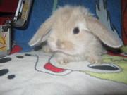 Декоративные кролики вислоушки породы Баран