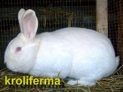 Кролики мясных и мясошкурных пород