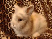 Декоративный ангорский крольчонок