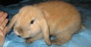 крольчата карликовые, всех пород и окрасов