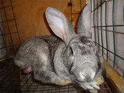 кролики мясных пород НЗБ,  Калифорнийский