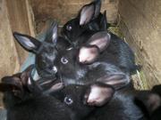 Кролики-это не только ценный мех,  но и красивые животные радующие глаз