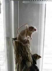 Продам мышек