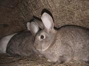 Продам кроликов,  кроли серый великан
