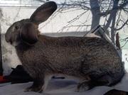 Кролики: Калифорния,  Белый великан,  Фландр,  Бабочка и НЗБ.