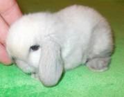 Карликовые кролики из питомника