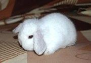Карликовые крольчата Кривой Рог